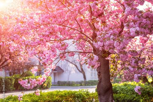 Canvastavla Sunny street of the old European cozy town during japanese cherry or sakura tree
