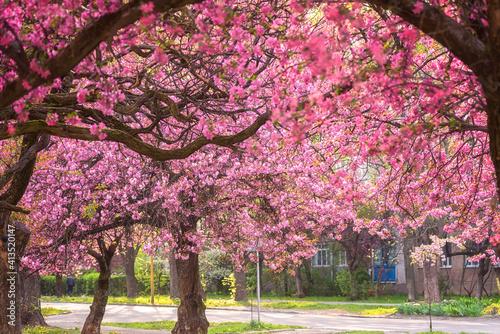 Sunny street of the small cozy European town during japanese cherry or sakura tr Fotobehang