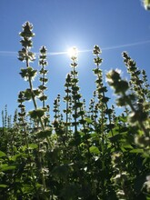 Low Angle View Of Flowering Plants Against Sky On Sunny Day