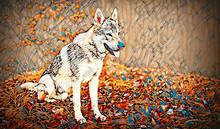 Czechoslovakian Wolfdog In Beautiful Autumn Nature. Wolfhound.