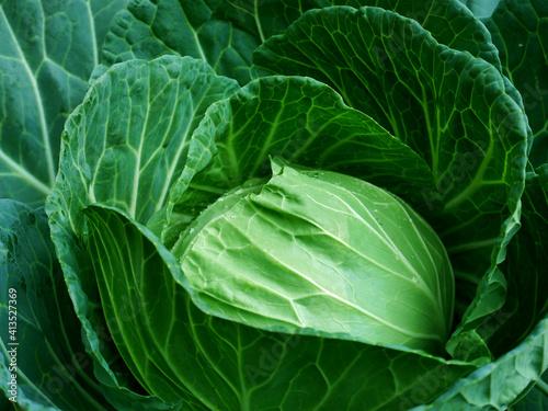 cabbage in the garden Fotobehang