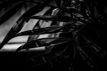 Black And White Leaves. Abstract Monochrome Picture Of A Room Plant. Art Of Being