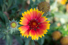 Close-up A Single Of Red Yellow Gaillardia Pulchella, Indian Blanket Flowers Blooming On Blurred Backgrounds.