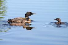 Loons Floating On The Clear Blue Lake Water