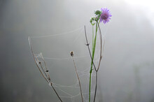 Pink Flower With A Cobweb On Its Stems On A Background Of Thick Fog, Illuminated By The Sun