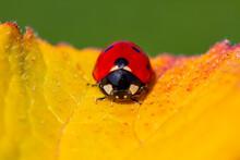 Red Ladybug On Green Leaf