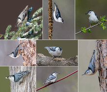 Collection Of 8 Images Of  White-breasted Nuthatch