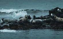 Seals Chilling On Rocks II