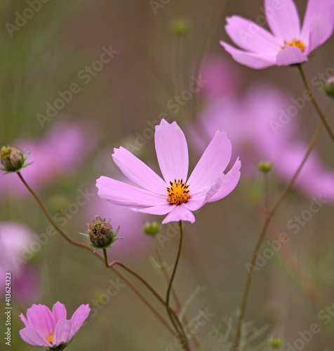 Fototapety, obrazy: Close-up Of Pink Cosmos Flowers