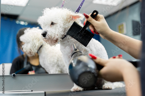 Obraz na plátně Veterinarian blow-dry a Bichon Frise hair in a veterinary clinic, close-up