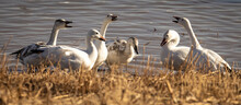 Snow Geese Standing At Lake Edge