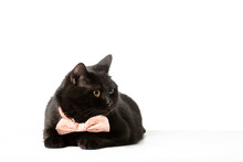 Black British Shorthair Cat In A Pink Bow Tie, Retiring On A White Background