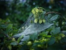 Spider Web Draped On Bushes