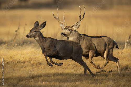 Canvas Print Mule Deer Buck chasing doe to breed