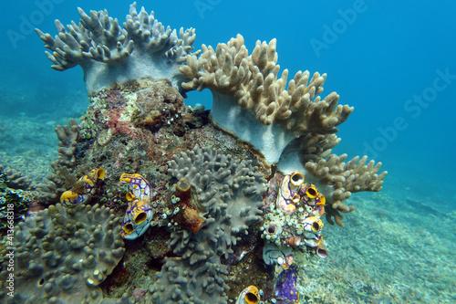 Fotografie, Obraz Lederkorallen (Sinularia mollis), darunter Goldseescheiden