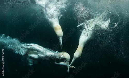 Fotografie, Obraz Underwater Gannets chasing fish