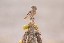 Female House Finch Perched Atop A Walking Stick Cactus.