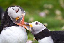 Puffin Beak Greeting