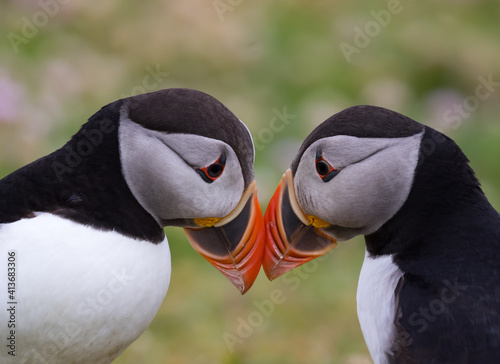 Carta da parati Puffin Beak Greeting