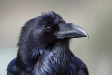 Highly Detailed Close Up Portrait Of An Adult Raven In Yellowstone National Park, Species Name Corvus Corax