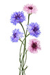 canvas print picture - Purple and pink knapweed flowers in a bouquet isolated on white