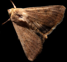 Close-up Of A Moth Butterfly On A Black Background.