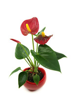Red Anthurium Laceleaf Flower Plant In Pot Isolated On A White Background. General Common Names: Anthurium, Tailflower, Laceleaf, Flamingo Flower.