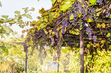 Ripe Purple Grapes With Leaves And Branches Growing On The Roof Of The Gazebo, Sunny Summer Autumn Day, Outdoors