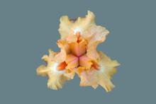 Yellow Iris Flower.