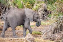 A Small Elephant Is Walking, On Safari In Kenya