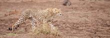 A Gepard Is Walking In The Savannah