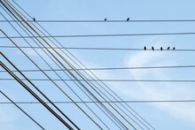 Birds Snare In Electricity Cables