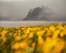 Spring Field Of Yellow Buttercup Flowers With Storm Aproaching Over Distant Mountains, Myrland, Flakstadøy, Lofoten Islands, Norway