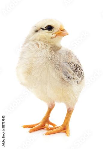 One small white chicken. © voren1