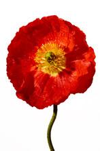 Poppy Bloom Detail On White Background