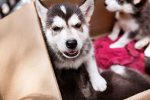 Close-up Of Siberian Husky Puppies In Doghouse