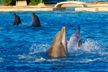 Bottlenose Dolphin Is In A Dolphin Show Of A Zoo