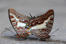 Mating Butterfly