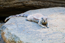 Young Yellow Mongoose In The Morning Sunlight