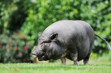 Pot-bellied Pig Running On Meadow
