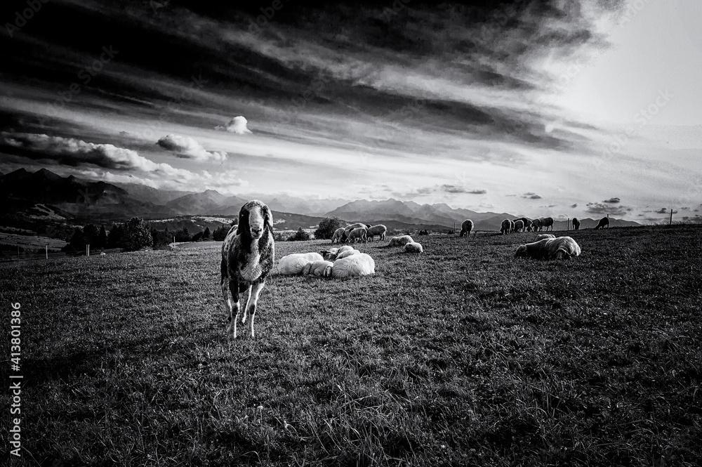 Fototapeta owca, krajobraz, niebo, charakter, pola, chmura, sylwetka, lato, oceanu, zwierzak, góra, słońce, chmura, blękit, burza, zieleń, baran