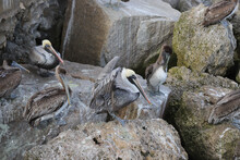 Brown Pelicans Resting On Large Rocks