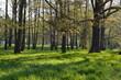 Wysokie parkowe drzewa wczesną wiosną