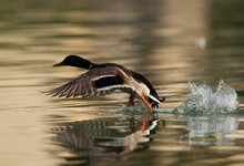 Mallard Duck Takeoff At Tubli Bay, Bahrain