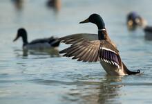 Mallard Duck Flapping Its Wings At Tubli Bay, Bahrain
