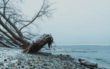 Large Tree Uprooted By Storm On Rocky Beach Of Lake On Winter Day.