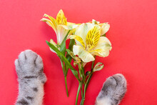 Ellow Alstroemeria Flowers And Gray Black Striped Cat Paws
