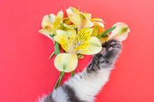 Ellow Alstroemeria Flowers And Gray Black Striped Cat Paw