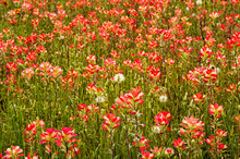 Indian Paintbrush Blooming In The Spring;  Near Austin, Texas