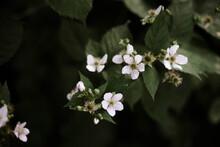 Macro Photography Of A Blackberries Flowers.